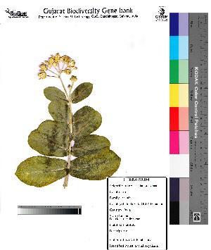 (Magnoliopsida - DNAFR000063)  @15 [ ] Copyright (2012) Unspecified Gujarat State Biotechnology Mission