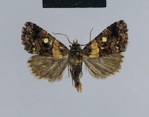 (Xanthomera leucoglene - BC ZSM Lep 48101)  @14 [ ] Copyright (2010) Axel Hausmann/Bavarian State Collection of Zoology (ZSM) Bavarian State Collection of Zoology (ZSM)