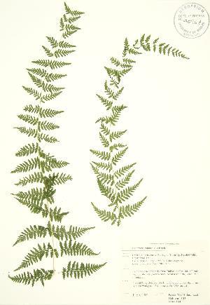 (Polypodiidae - RBG 104)  @14 [ ] Copyright (2009) Steven Newmaster University of Guelph BIO Herbarium
